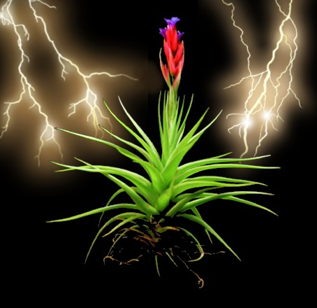 scienze-tillandsia